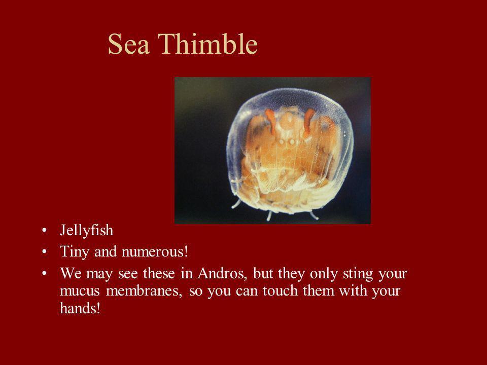 Sea Thimble Jellyfish Tiny and numerous!