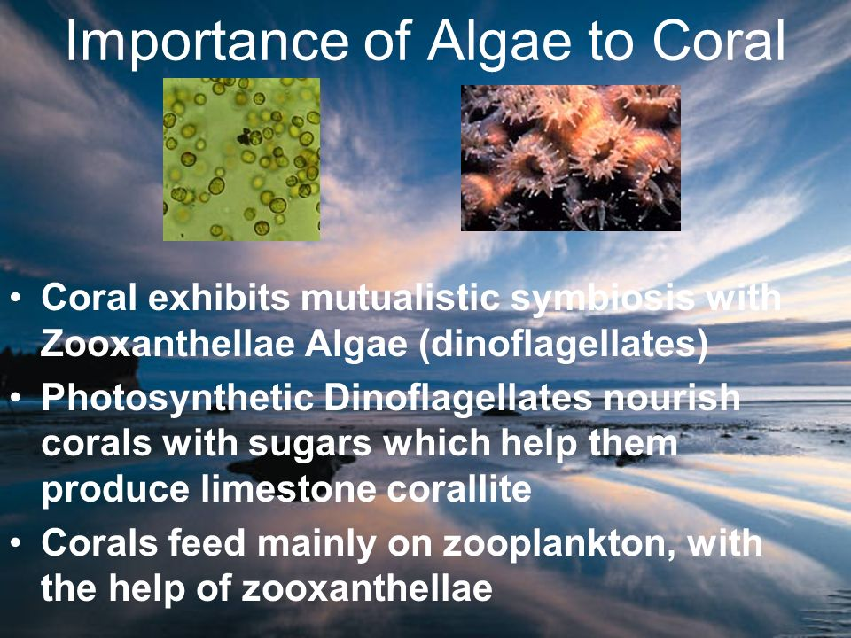 Importance of Algae to Coral