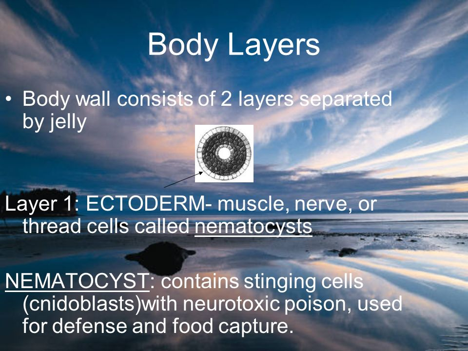 Body Layers Body wall consists of 2 layers separated by jelly