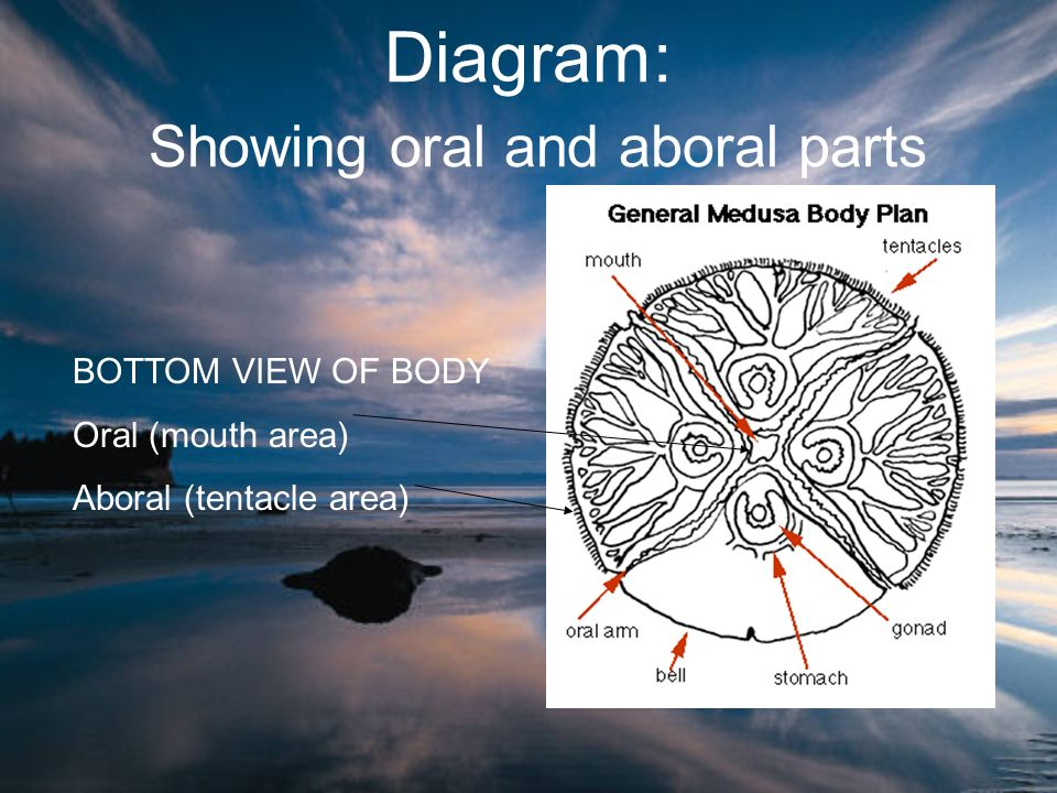 Diagram: Showing oral and aboral parts