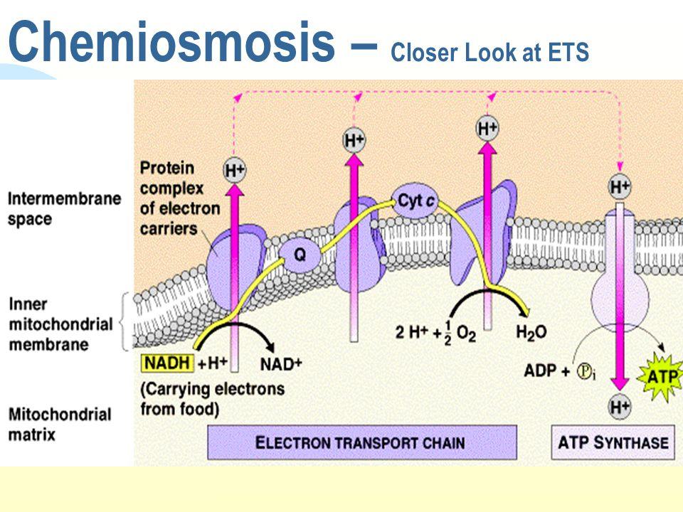 Chemiosmosis – Closer Look at ETS