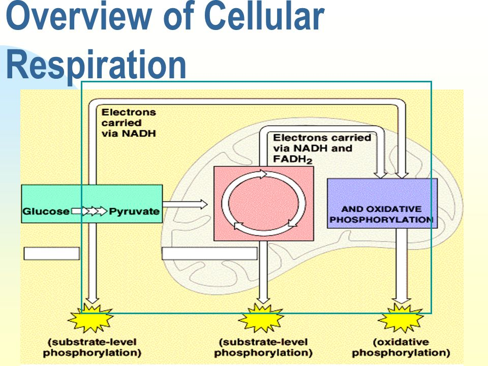 Overview of Cellular Respiration