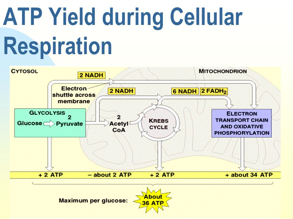 ATP Yield during Cellular Respiration