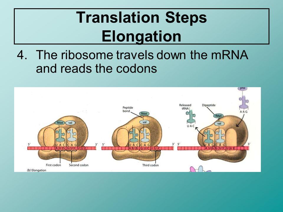 Translation Steps Elongation