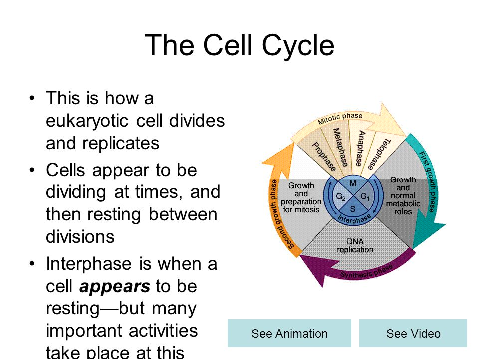 The Cell Cycle This is how a eukaryotic cell divides and replicates