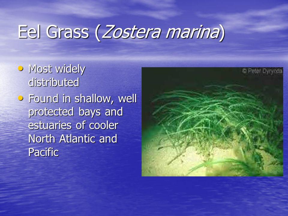 Eel Grass (Zostera marina)