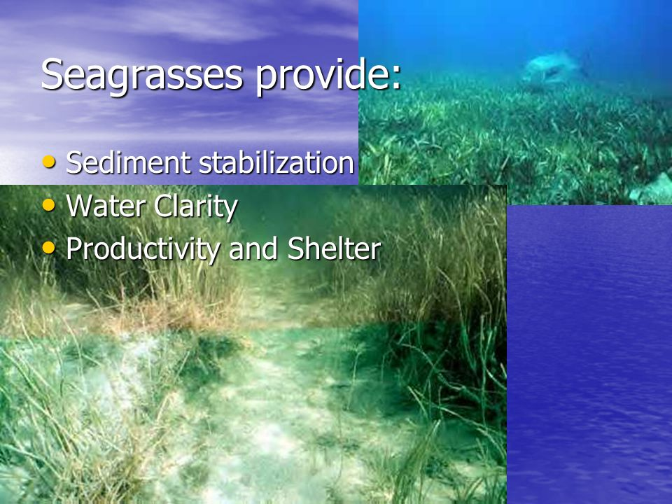 Seagrasses provide: Sediment stabilization Water Clarity