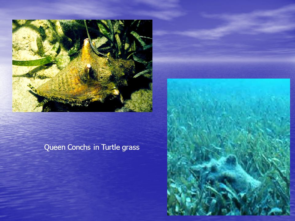 Queen Conchs in Turtle grass