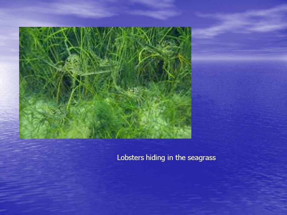 Lobsters hiding in the seagrass