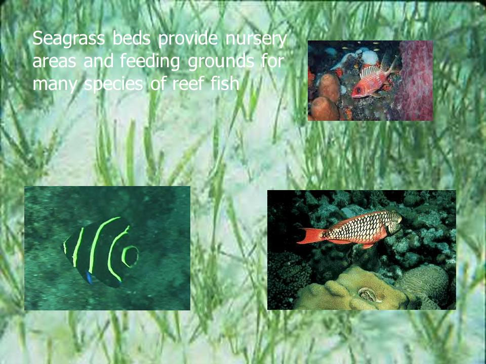 Seagrass beds provide nursery