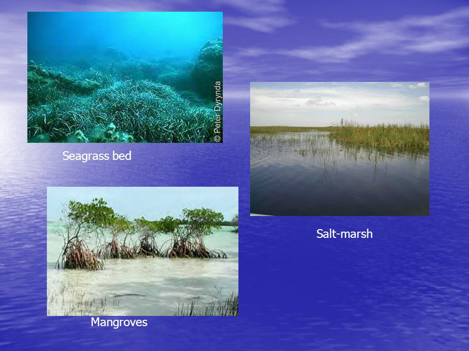 Seagrass bed Salt-marsh Mangroves