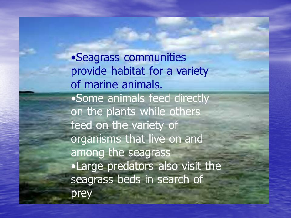 Seagrass communities provide habitat for a variety of marine animals.