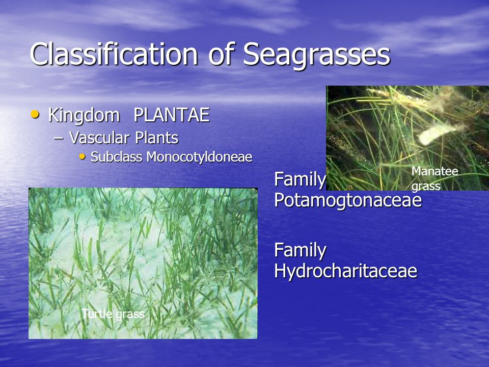 Classification of Seagrasses