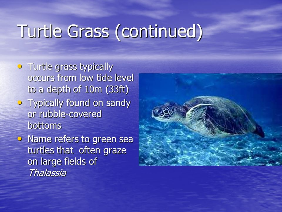 Turtle Grass (continued)