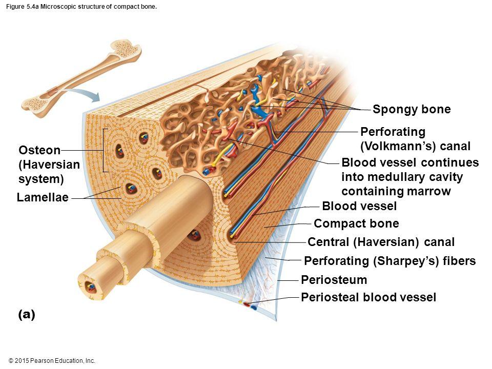 Compact Bone Anatomy 1126977 Follow4morefo
