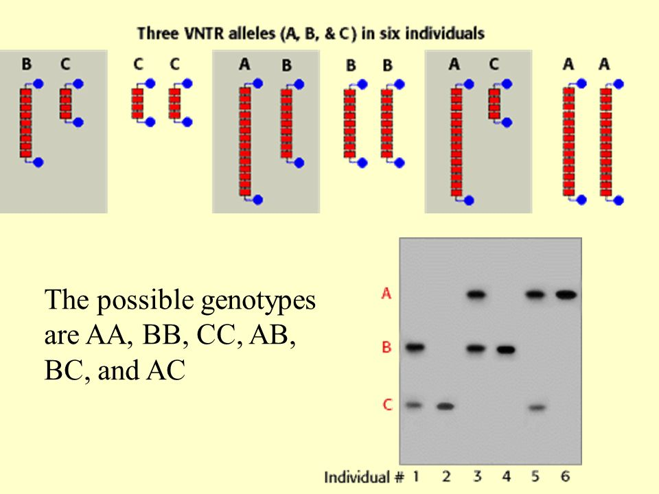 The possible genotypes are AA, BB, CC, AB, BC, and AC