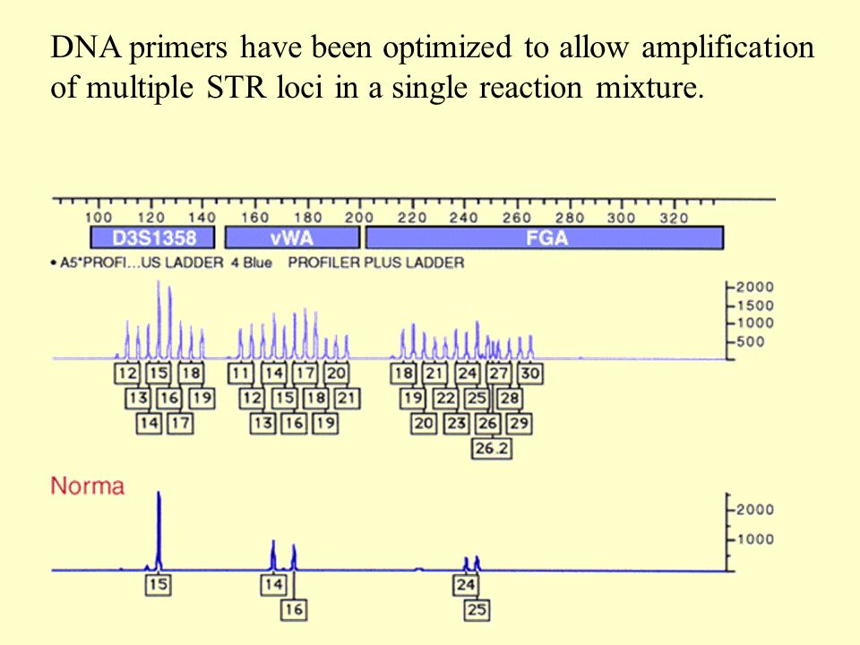 DNA primers have been optimized to allow amplification of multiple STR loci in a single reaction mixture.