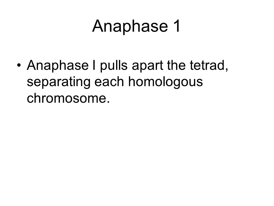 Anaphase 1 Anaphase I pulls apart the tetrad, separating each homologous chromosome.