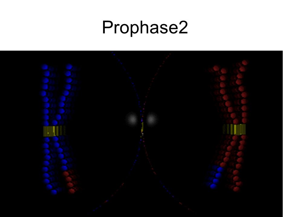 Prophase2