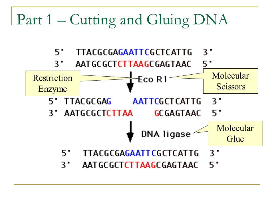 Part 1 – Cutting and Gluing DNA