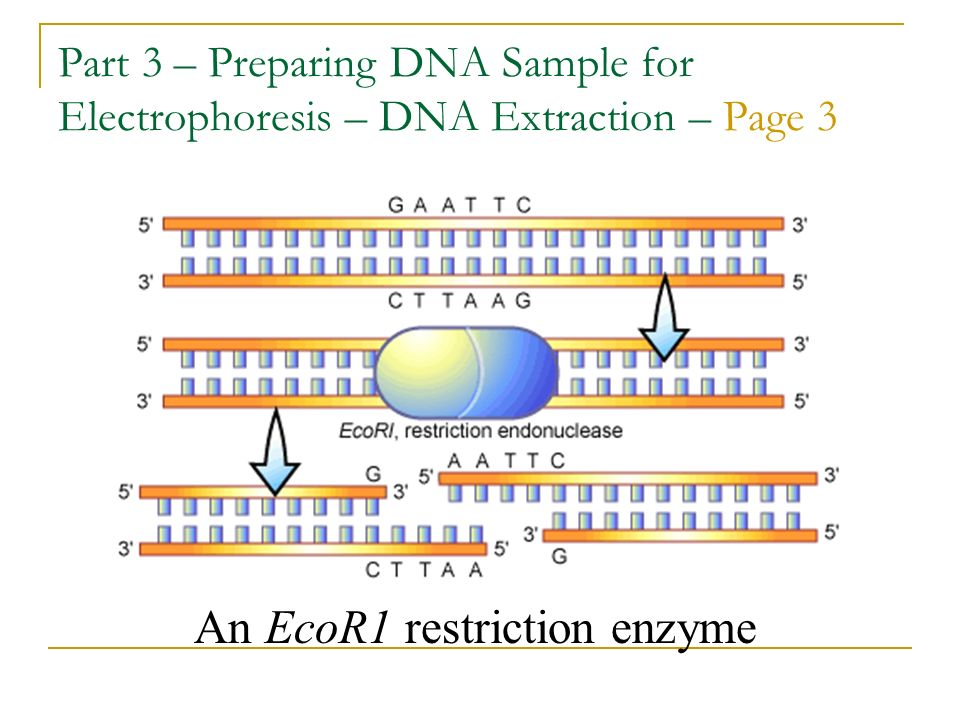 An EcoR1 restriction enzyme