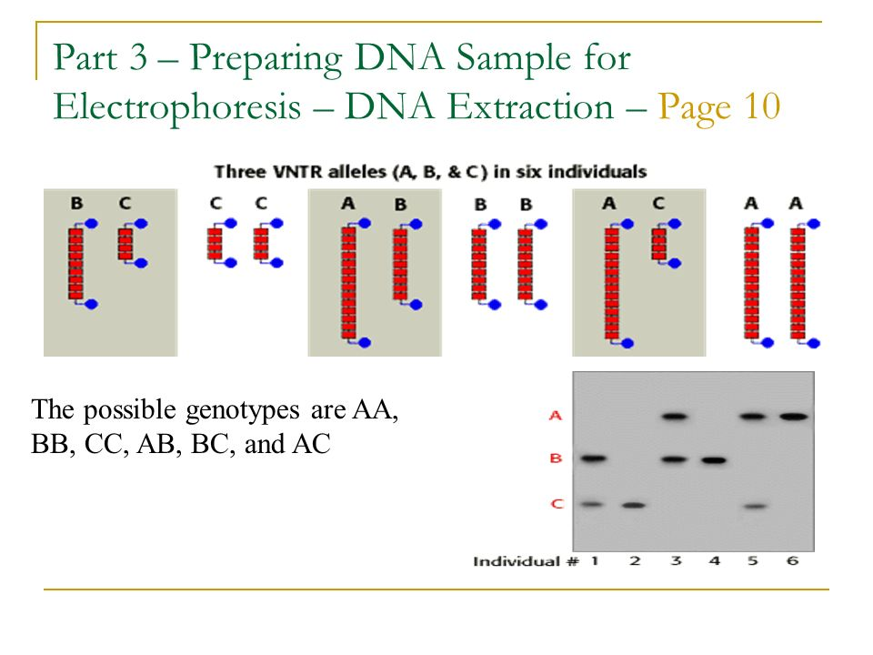 Part 3 – Preparing DNA Sample for Electrophoresis – DNA Extraction – Page 10
