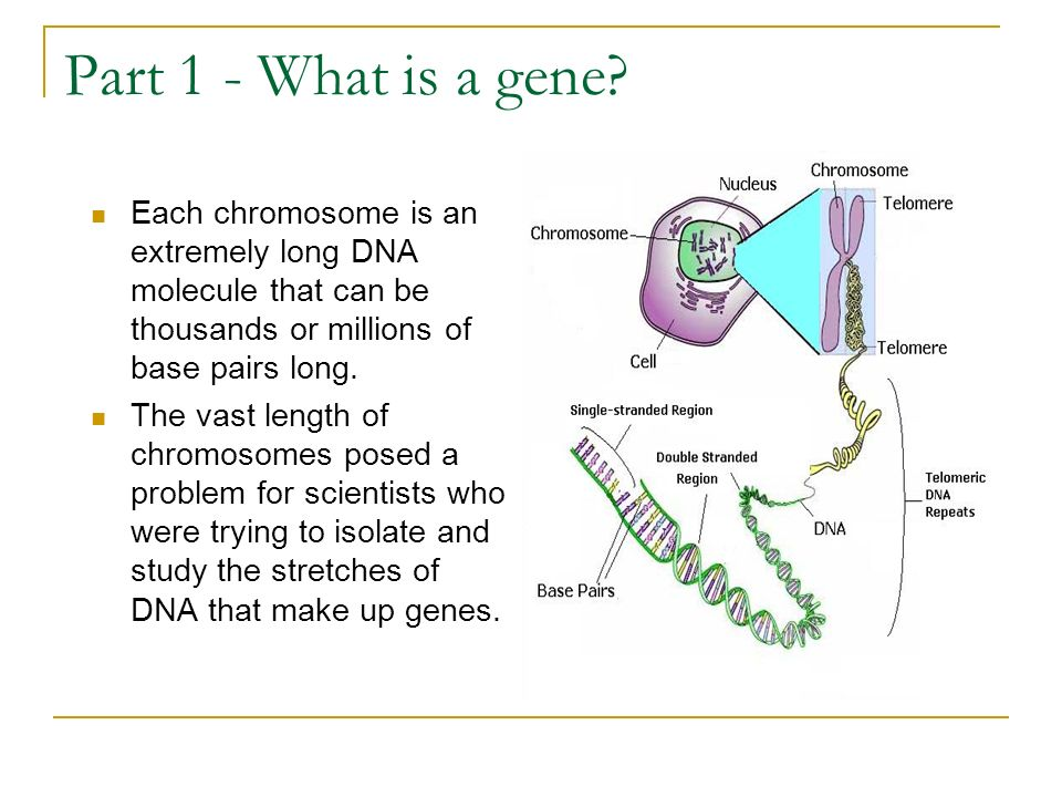 Part 1 - What is a gene Each chromosome is an extremely long DNA molecule that can be thousands or millions of base pairs long.