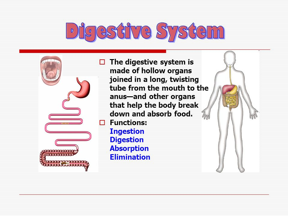 The digestive system is