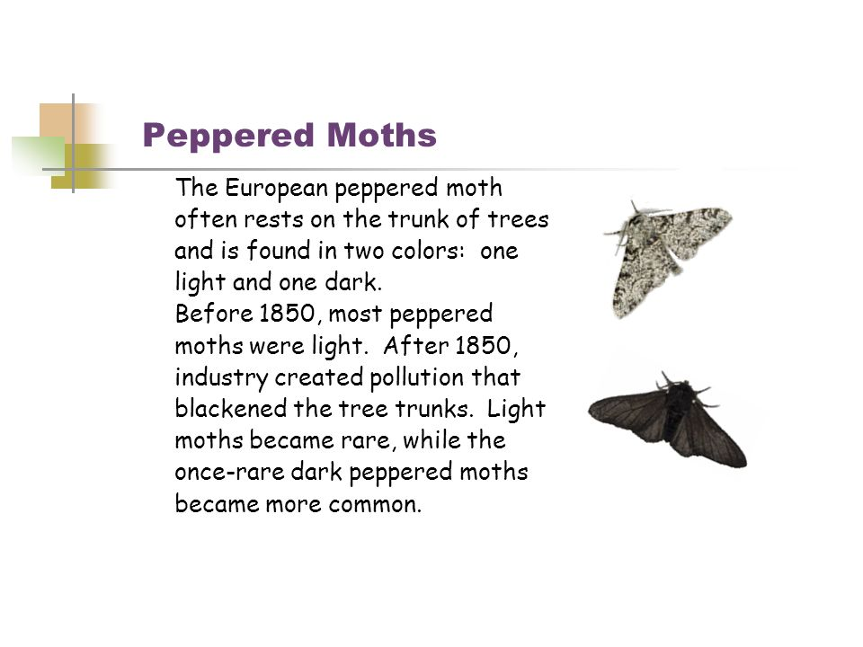 Peppered Moths The European peppered moth