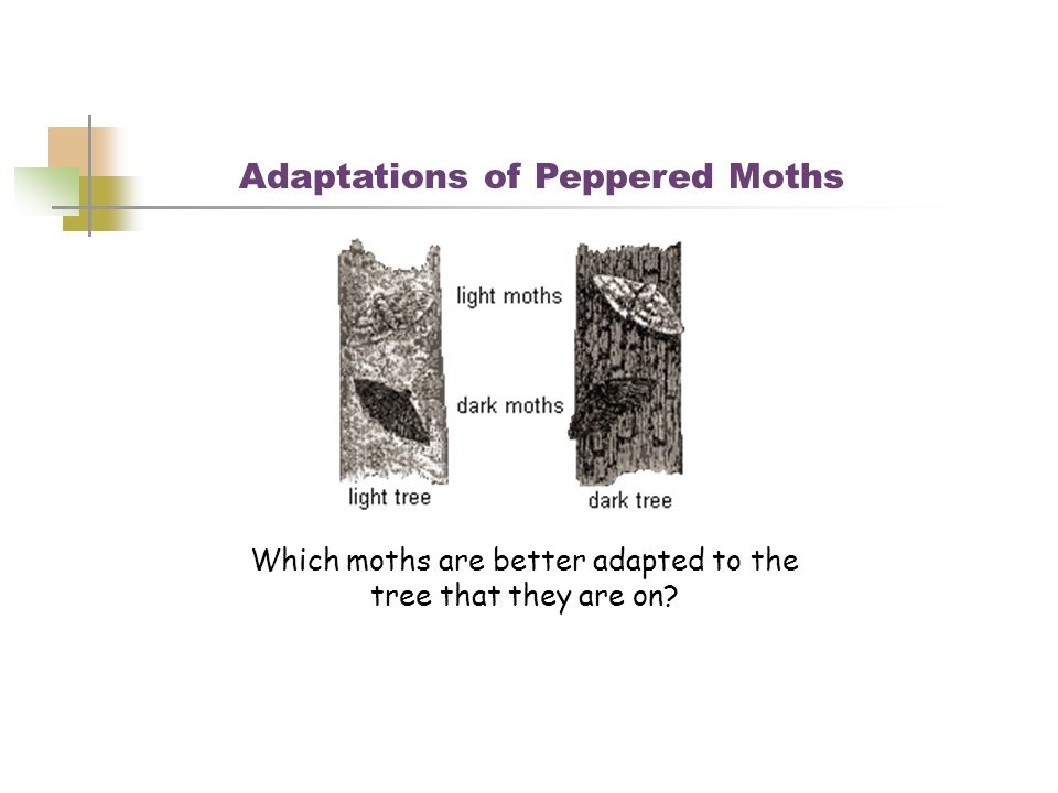 Adaptations of Peppered Moths