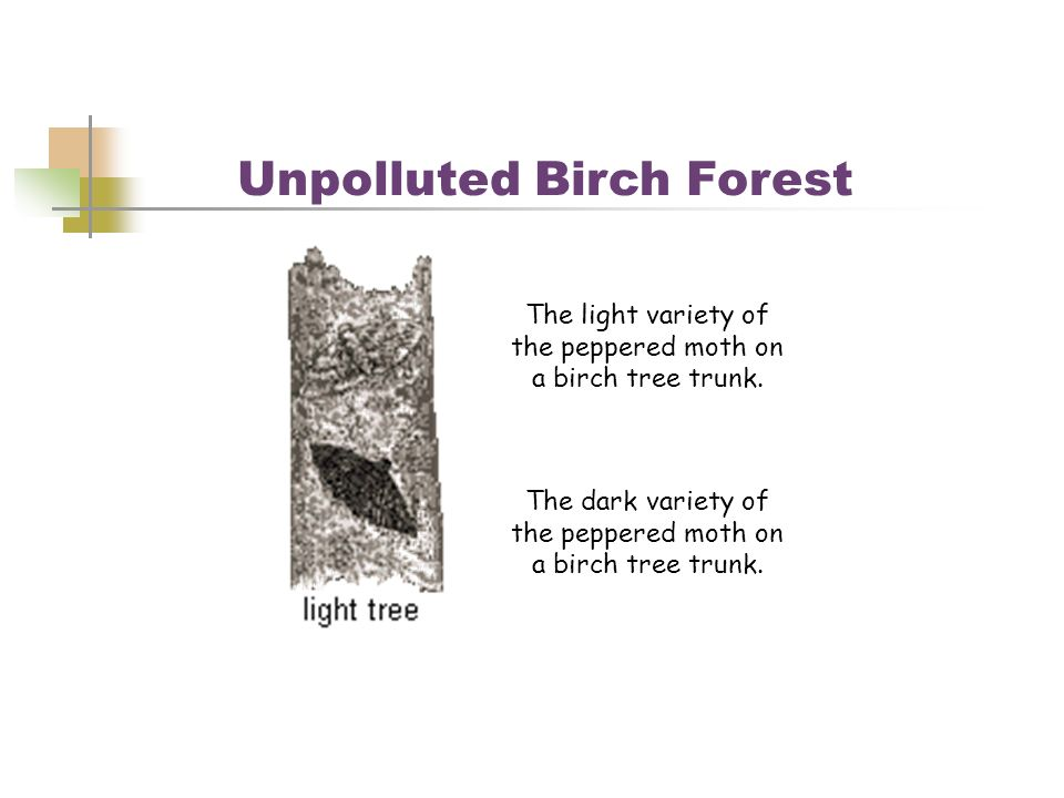 Unpolluted Birch Forest