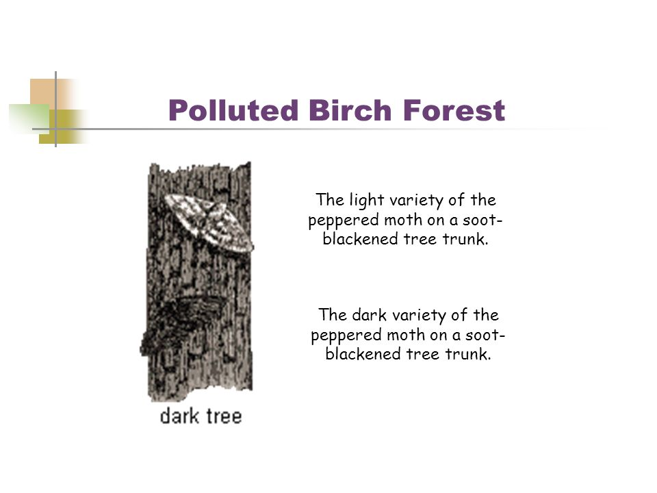 Polluted Birch Forest The light variety of the peppered moth on a soot-blackened tree trunk.