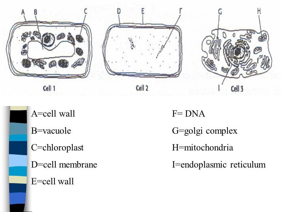 A=cell wall F= DNA B=vacuole G=golgi complex. C=chloroplast H=mitochondria. D=cell membrane I=endoplasmic reticulum.