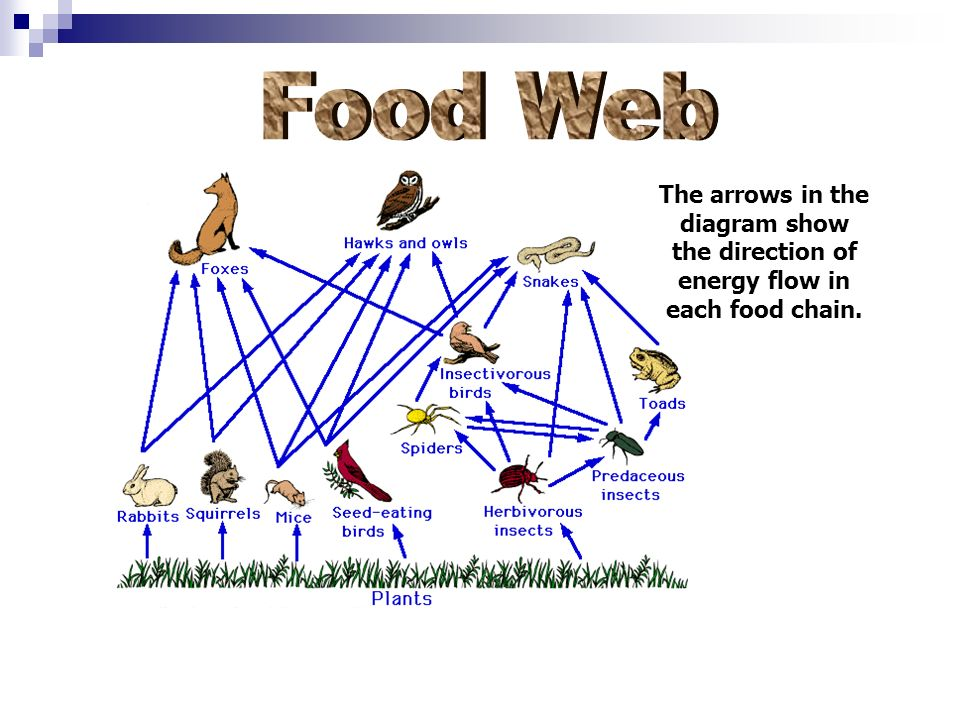 Food Web The arrows in the diagram show the direction of energy flow in each food chain.