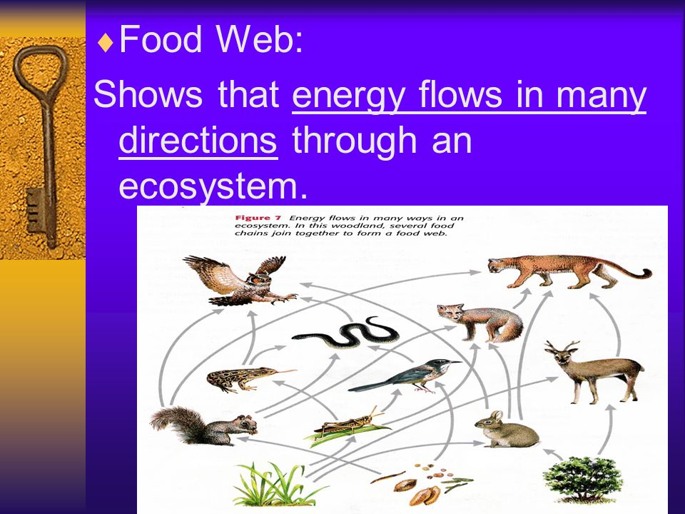 Food Web: Shows that energy flows in many directions through an ecosystem.