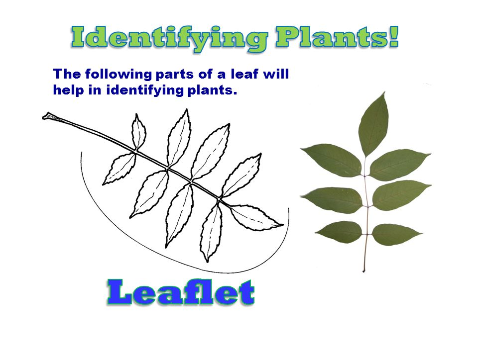 Leaflet Identifying Plants! The following parts of a leaf will