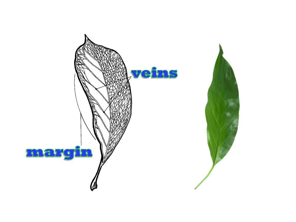 veins margin