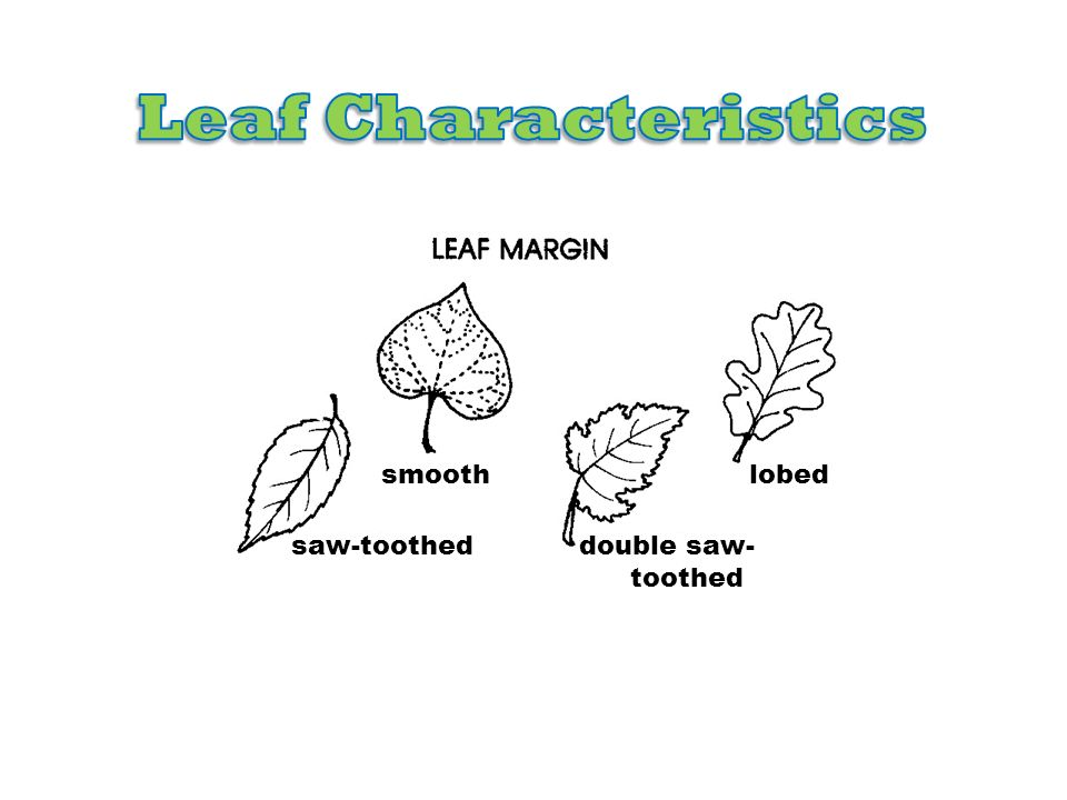 Leaf Characteristics smooth lobed saw-toothed double saw-toothed