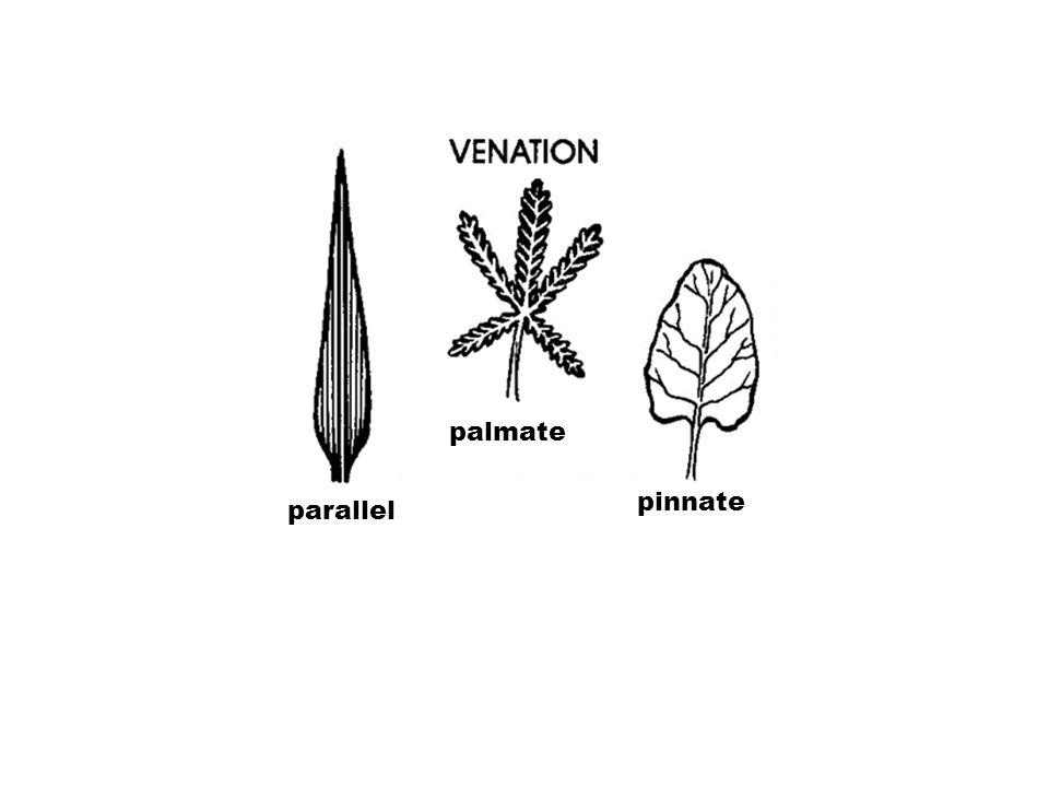 palmate pinnate parallel