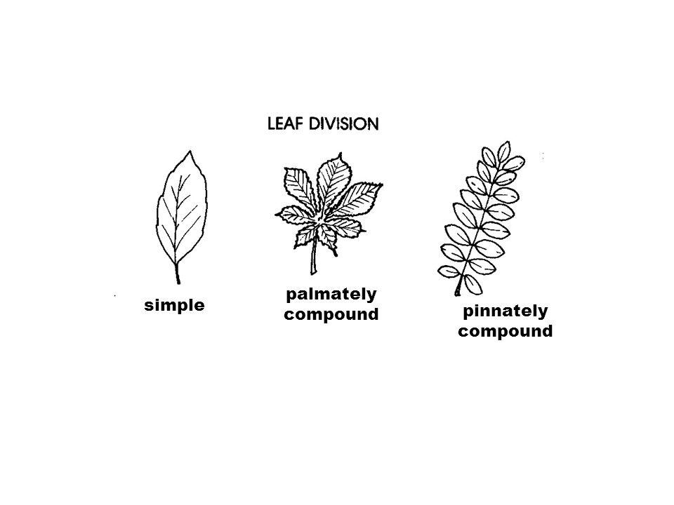 palmately compound simple pinnately compound