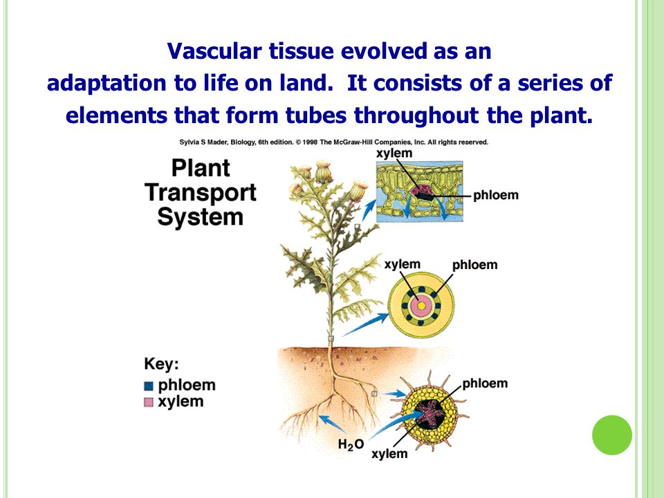 Vascular tissue evolved as an adaptation to life on land