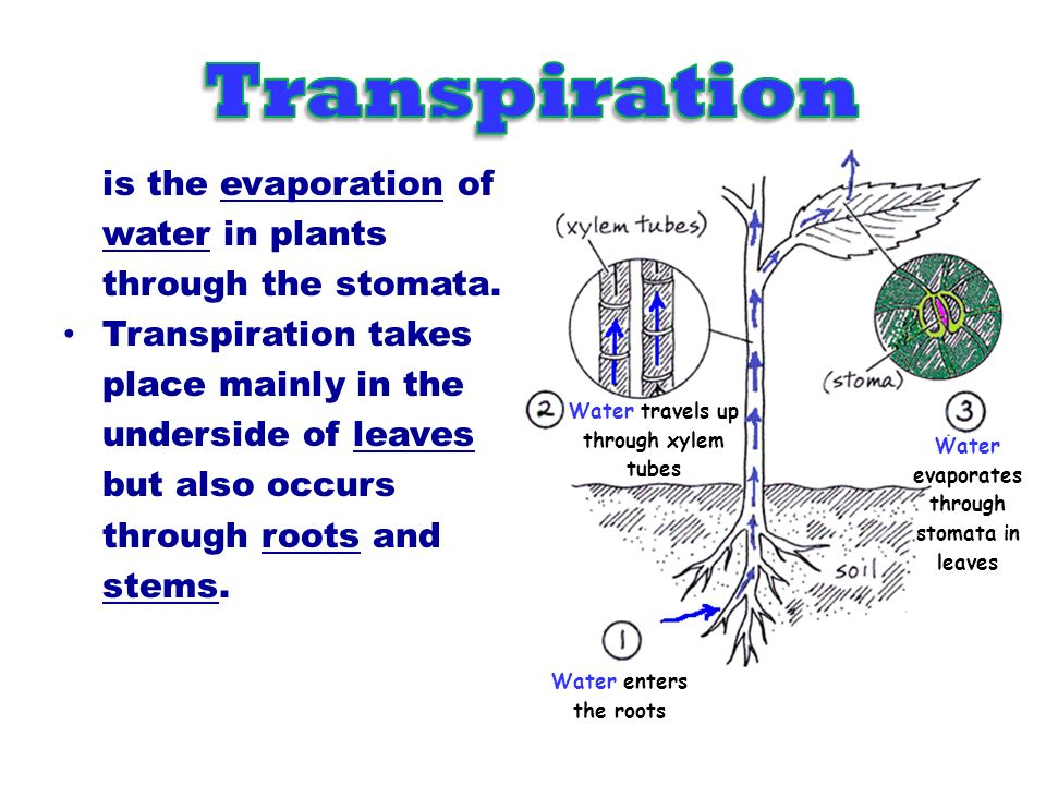 Transpiration is the evaporation of water in plants
