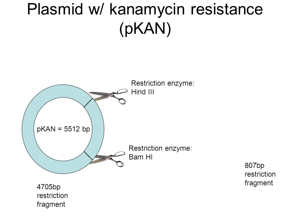 using kanamycin resistance bacteria to find 2001) bacteria from the dam water had a higher level of resistance to kanamycin than did the bacteria from the amphitheater tributary this difference may be caused by the presence of bacteria from the north village tributary, as there were high levels of kanamycin resistance through bacteria transformation, more bacteria can gain.