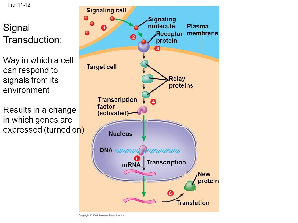 Fig. 11-12 Signaling cell. Signaling. molecule. Signal Transduction: Way in which a cell can respond to signals from its environment.