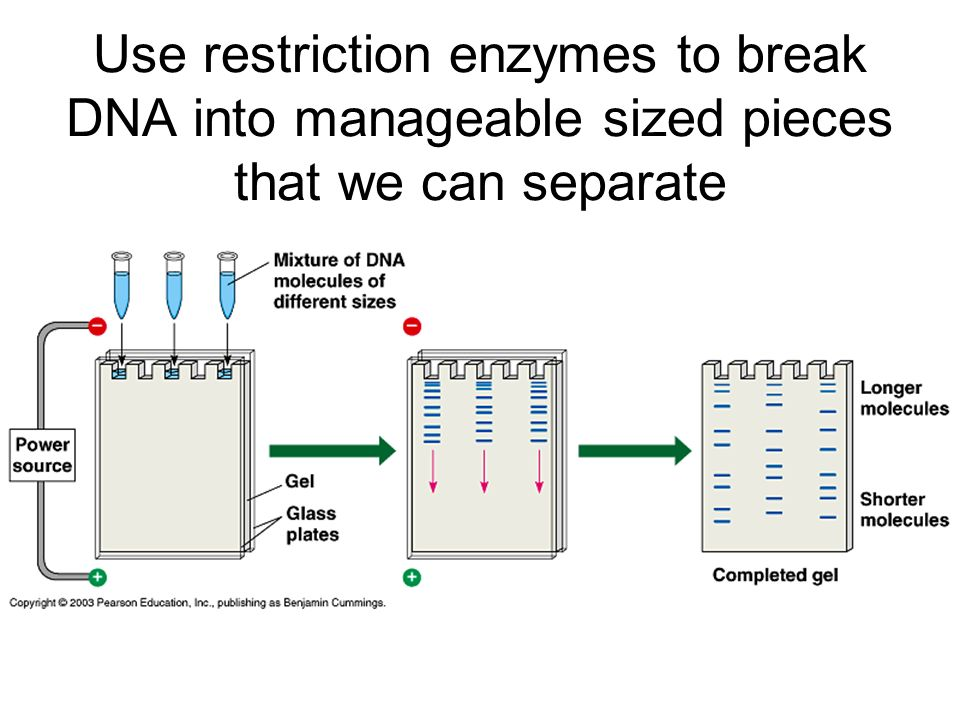 Use restriction enzymes to break DNA into manageable sized pieces that we can separate