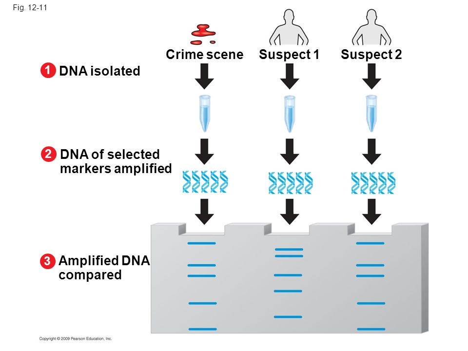 Crime scene Suspect 1 Suspect 2 DNA isolated DNA of selected