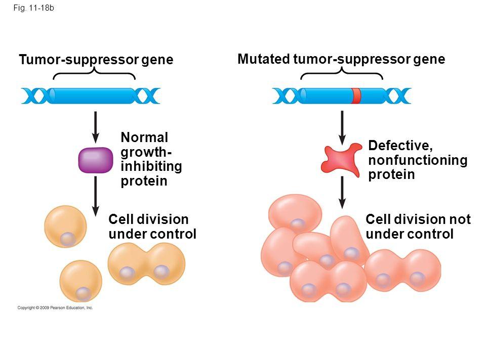Tumor-suppressor gene Mutated tumor-suppressor gene