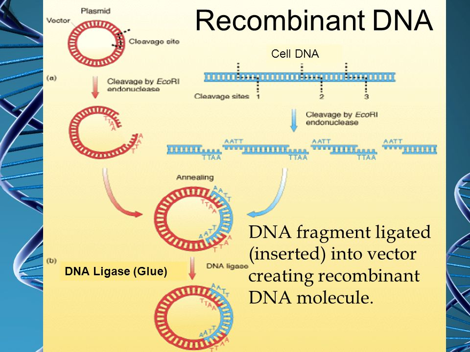 Recombinant DNA Cell DNA. DNA fragment ligated (inserted) into vector creating recombinant DNA molecule.