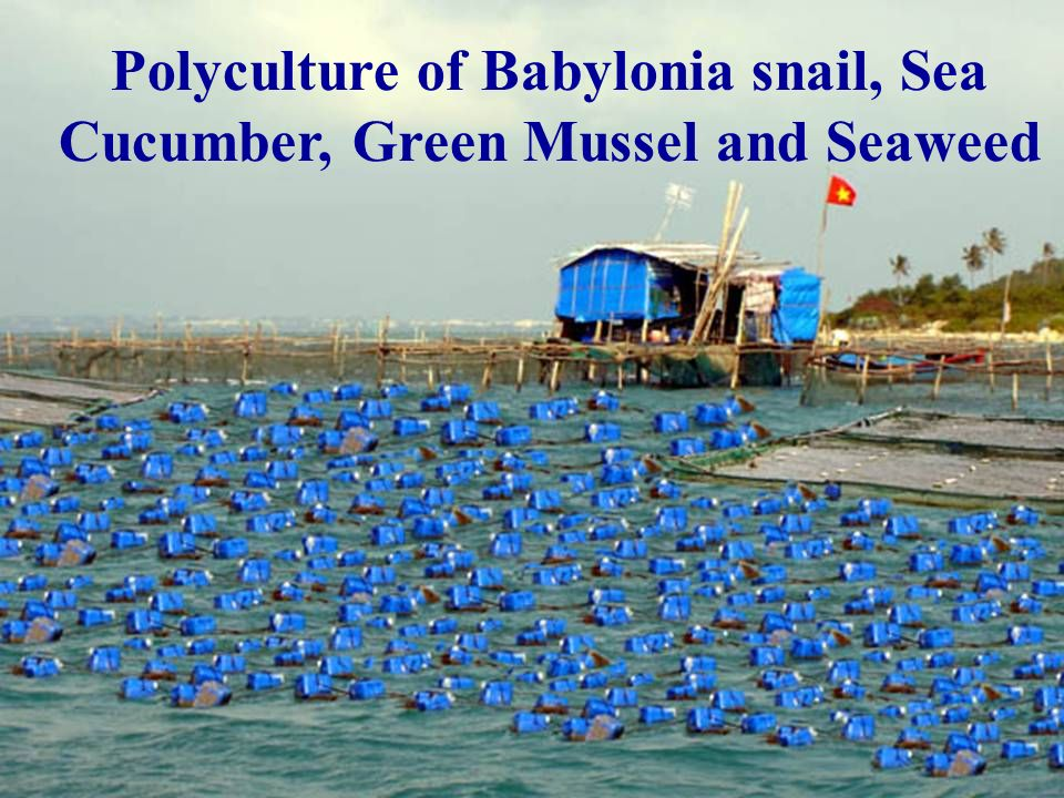 Polyculture of Babylonia snail, Sea Cucumber, Green Mussel and Seaweed