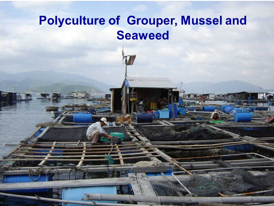 Polyculture of Grouper, Mussel and Seaweed